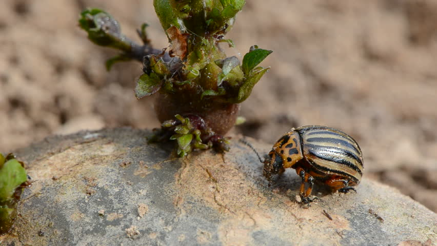 Colorado beetle (Leptinotarsa decemlineata ) on spring potato with green sprout | Shutterstock HD Video #3406616