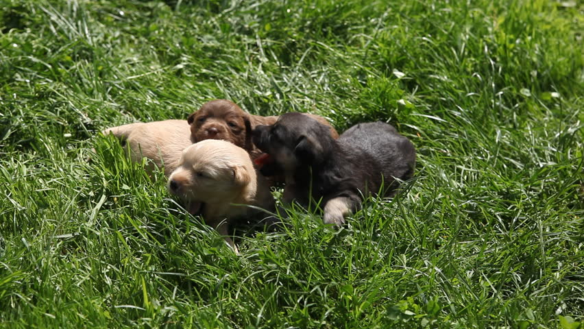 Beautiful Adorable Cute Puppies, Cubs Newborn Dogs Looking for Friends, Mother Feeding - HD stock footage clip