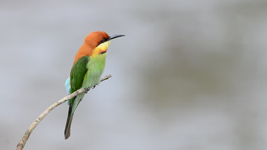Bird (Chestnut-headed Bee-eaters) , Thailand | Shutterstock HD Video #3473108