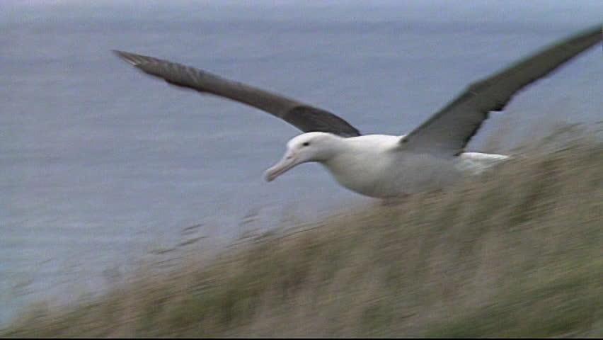 Northern Royal Albatross #3474089