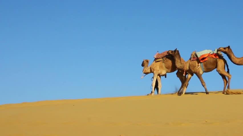 cameleers in desert - camels caravan on sand dune - HD stock video clip