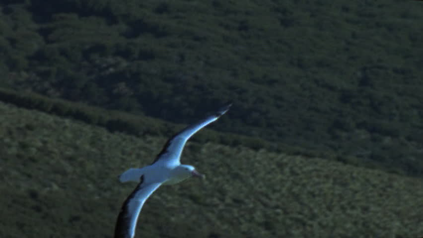Header of Albatrosses