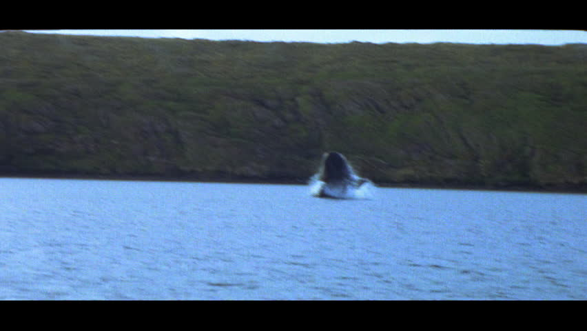 Southern right whales - SD stock video clip