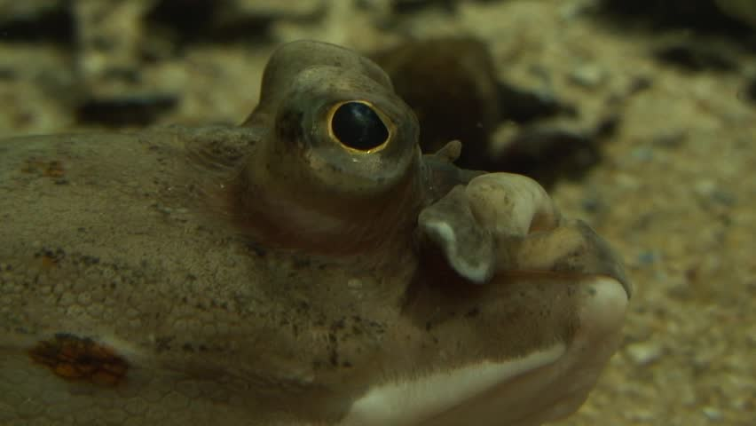 Close-up from the side of flounder - HD stock video clip