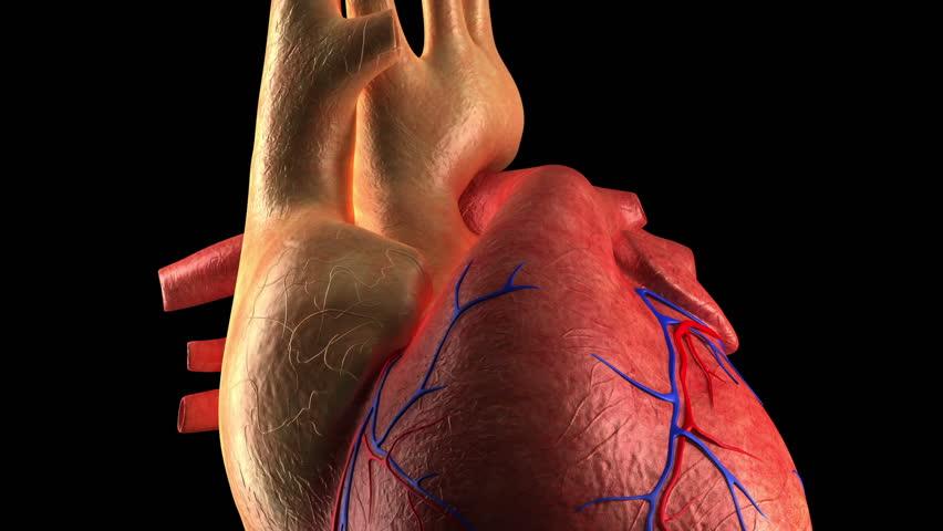 Anatomy Heart - Human Heart Beat - Close-up