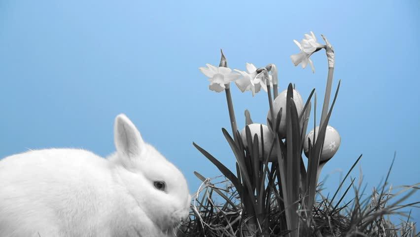 bunny rabbit sniffing around - photo #3
