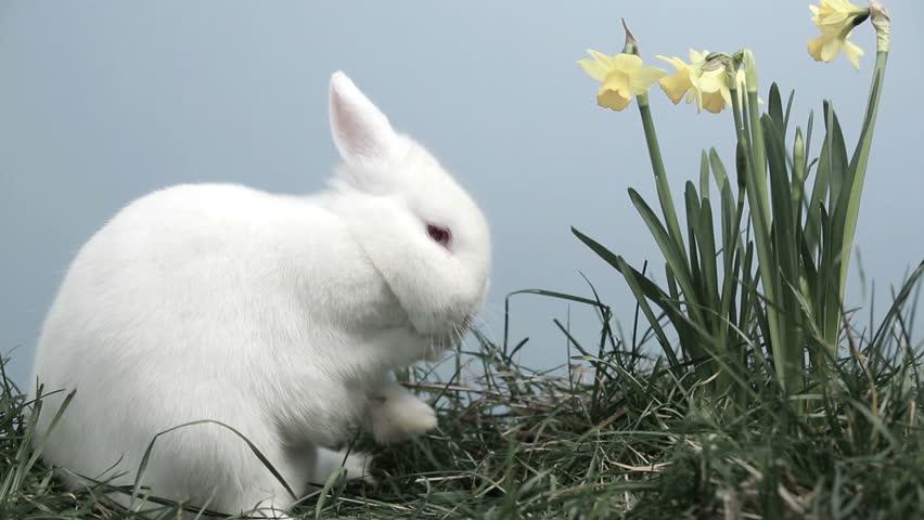 bunny rabbit sniffing around - photo #2
