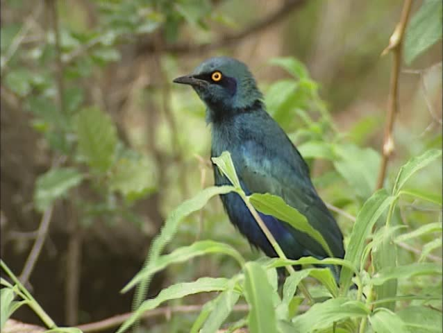 Cape Glossy starling ( Lamprotornis nitens ) perched on branch and flies away. Kruger National park. - SD stock video clip