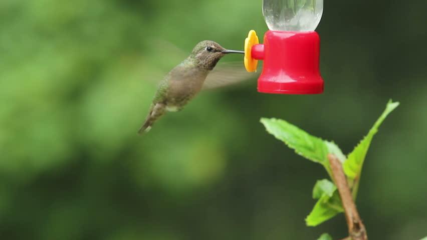 Anna's Hummingbird getting nectar from a bird feeder