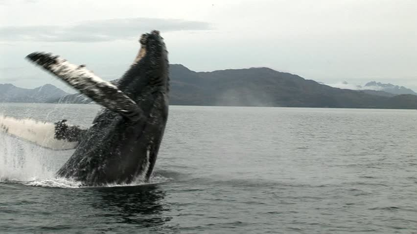 Humpbacked whale jumping in the Strait of Magellan, Patagonia Chile