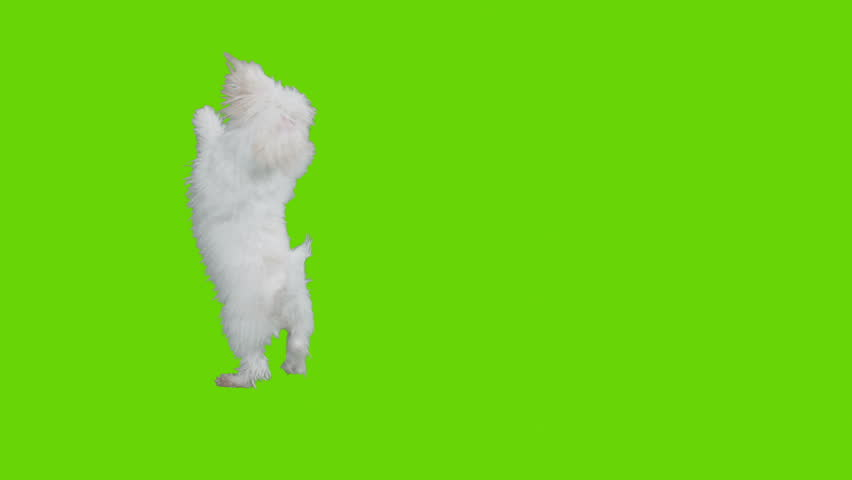 Dog jumps around and exists frame. Shot with red camera. Green screen ready to be keyed.  | Shutterstock HD Video #3605525
