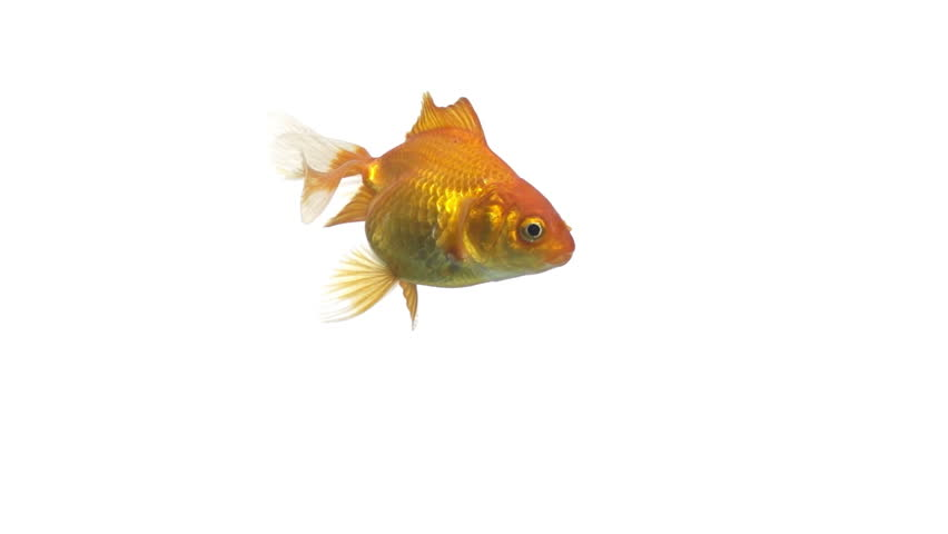 Single goldfish animal isolated on white background | Shutterstock HD Video #3618269