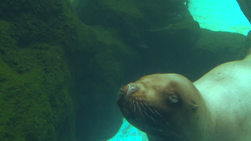 Underwater clip of large seal swimming up to camera lens and swims away.