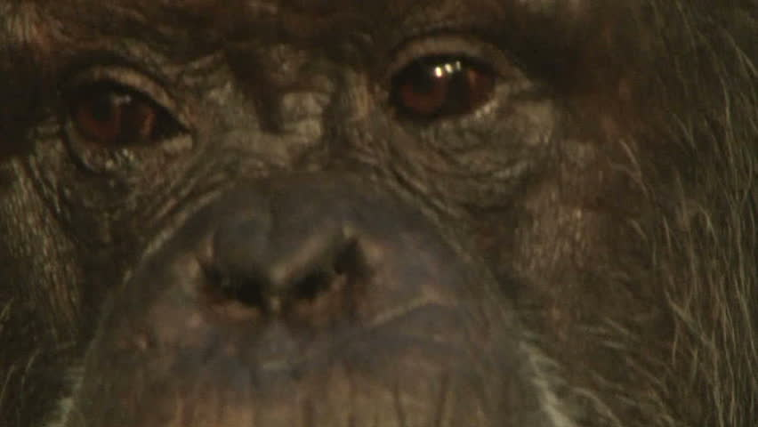 Close up of the eyes of an elder chimpanzee.