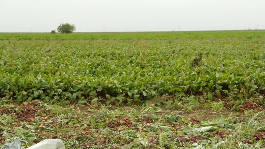 Pan shot of beet field and of sacks full of beetroot. - HD stock video clip