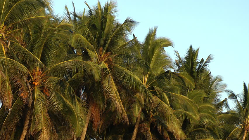 Palm trees moving in a slow breeze - HD stock video clip