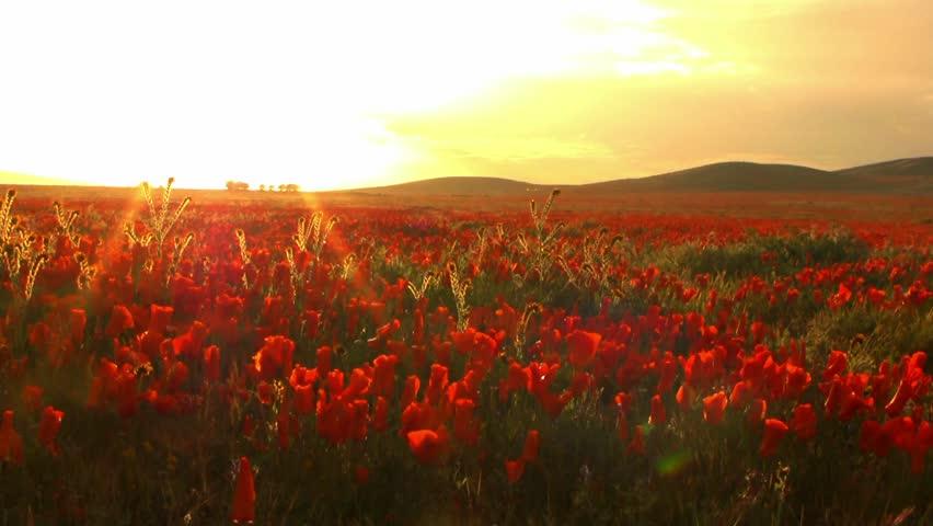 California Poppy Flower Carpet
