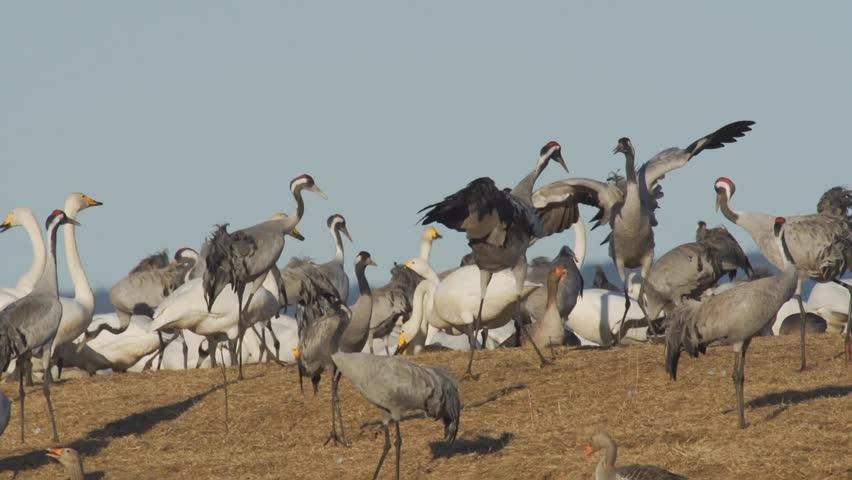 dancing common cranes - HD stock footage clip
