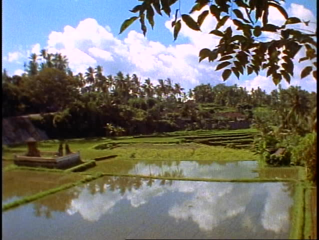 Bali, rice fields in jungle, lush, green, blue pools of water