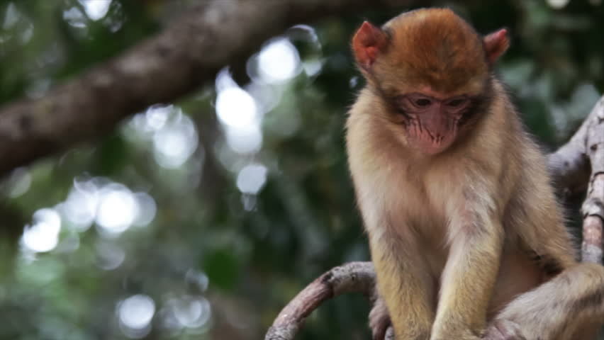 Portrait of a young monkey in Morocco, Africa