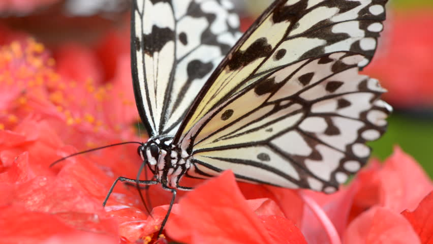 Butterfly is feeding on flower - HD stock video clip