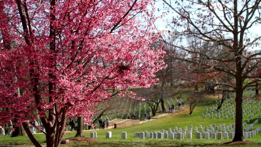 Arlington National Cemetery cherry blossom tilt shift  - HD stock video clip