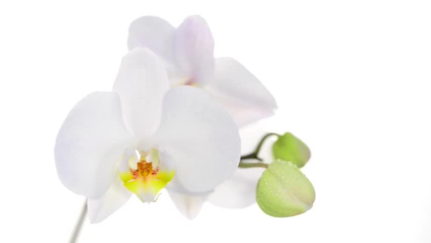 Time-lapse Of Opening White Amaryllis Christmas Flower ...