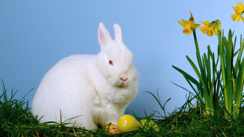 bunny rabbit sniffing around - photo #5
