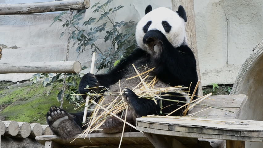 information about the habits and life of the giant panda bear The giant panda is a bear native to the forests of southwest china which also aid in the eating habits of the mammal the stomach of the panda is incredibly muscular life cycle ailuropoda melanoleuca.