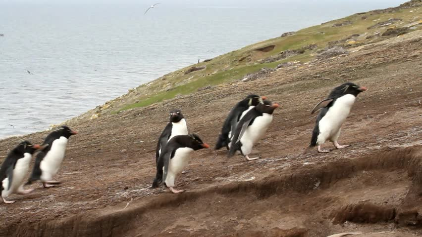 Rockhopper penguins coming home - HD stock footage clip