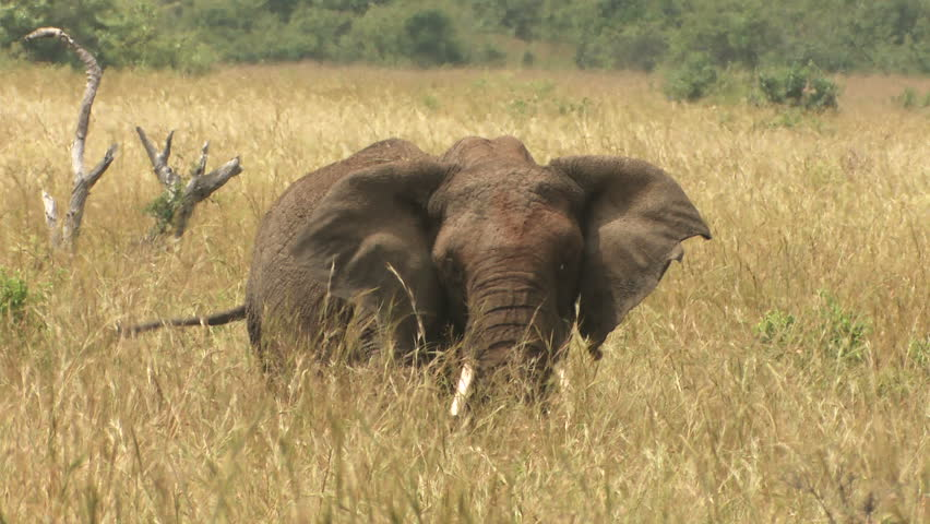 Elephant's definition/...