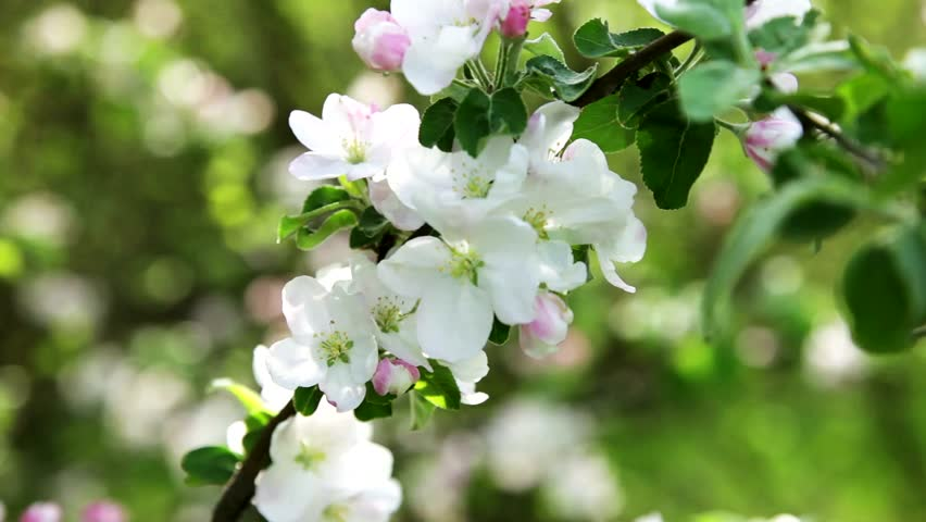 Spring flowers | Shutterstock HD Video #3827231