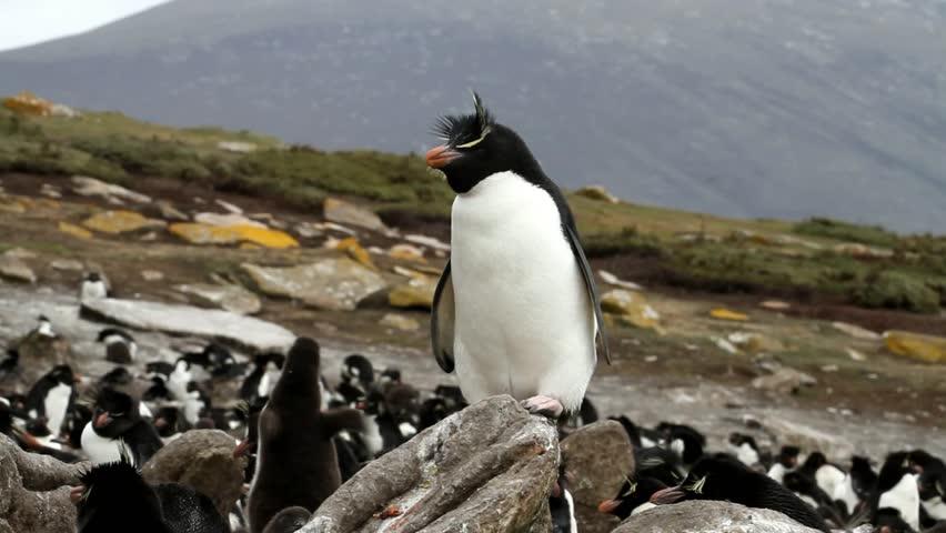 Rockhopper penguin sitting on a rock - HD stock footage clip