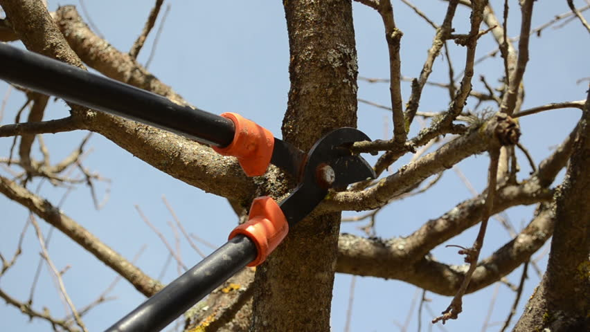 fruit tree cut trim prune with two handle clipper scissors in spring garden on background of blue sky. - HD stock video clip