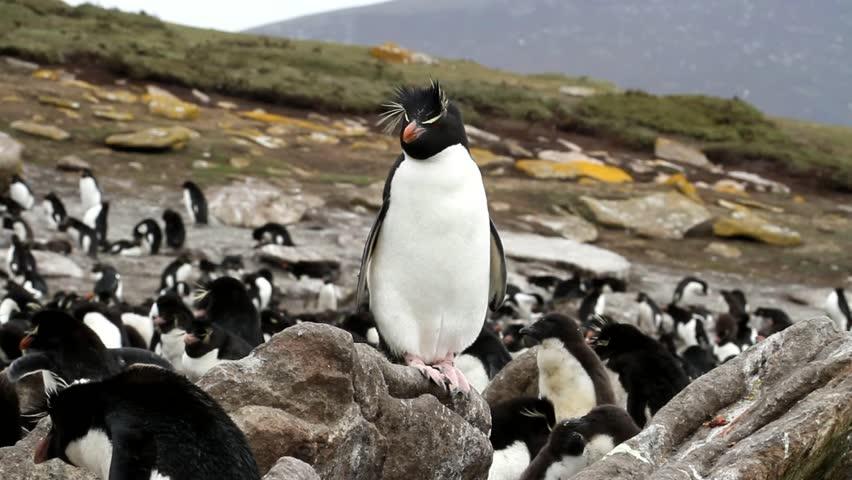 Rockhopper penguins sitting on a rock - HD stock footage clip