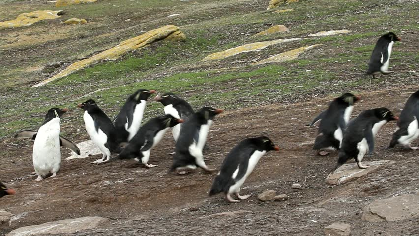 Rockhopper penguins walking uphill and downhill - HD stock footage clip