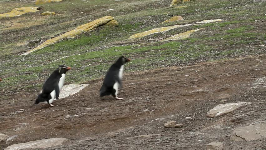 Rockhopper penguins - HD stock video clip