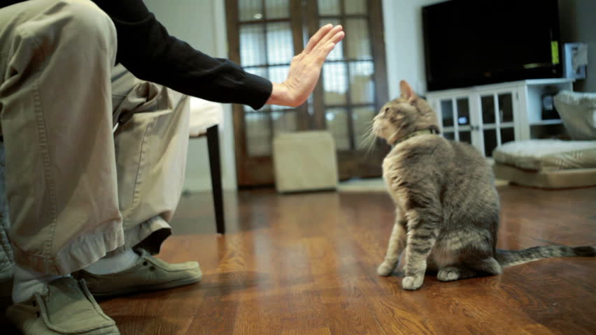Gray cat doing tricks and giving white guy a high five | Shutterstock HD Video #3858875