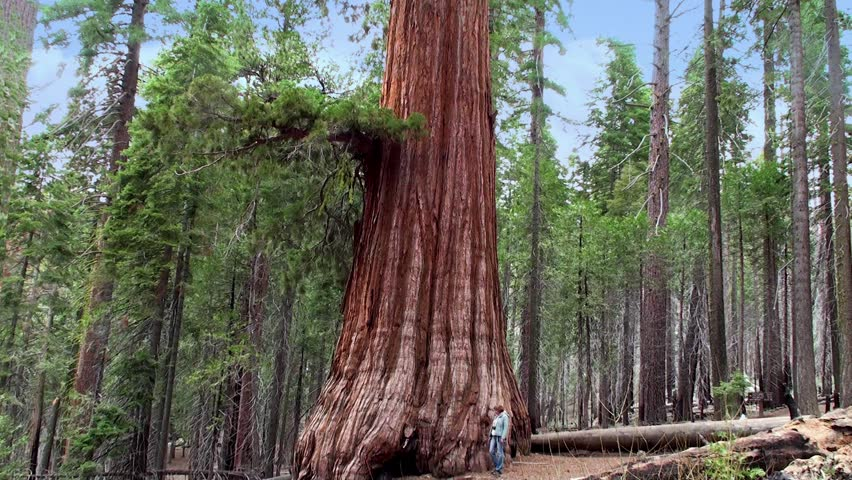 A Tourist at the Giant sequoia tree in Mariposa Grove, Yosemite NP, California. - HD stock video clip