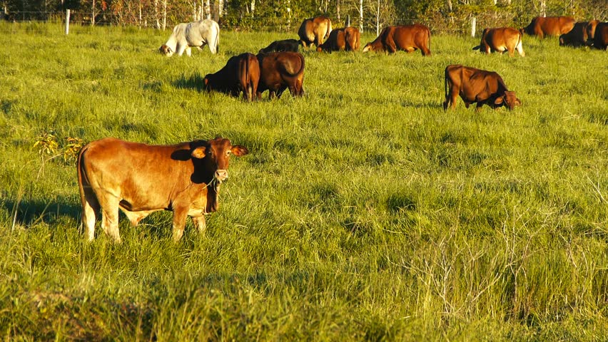 a herd of cattle graze grass on a ranch in queensland