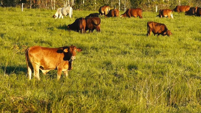 a herd of cattle graze grass on a ranch in queensland