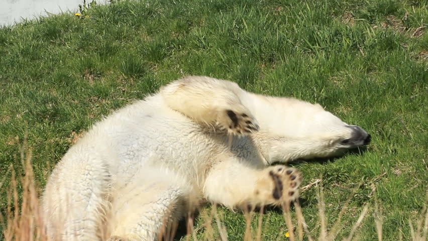 Polar Bear 4. A polar bear scratching its back on the grass at the Toronto Zoo.