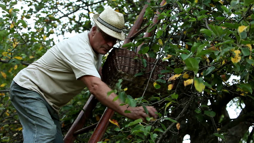 Senior man picking apples and putting them in a basket - HD stock video clip