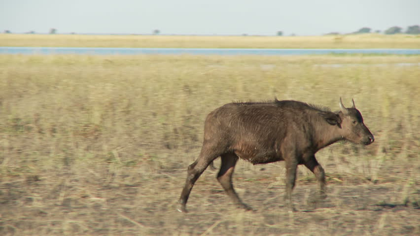 A young buffalo walks, stops lifts hip lip and continues on - HD stock footage clip