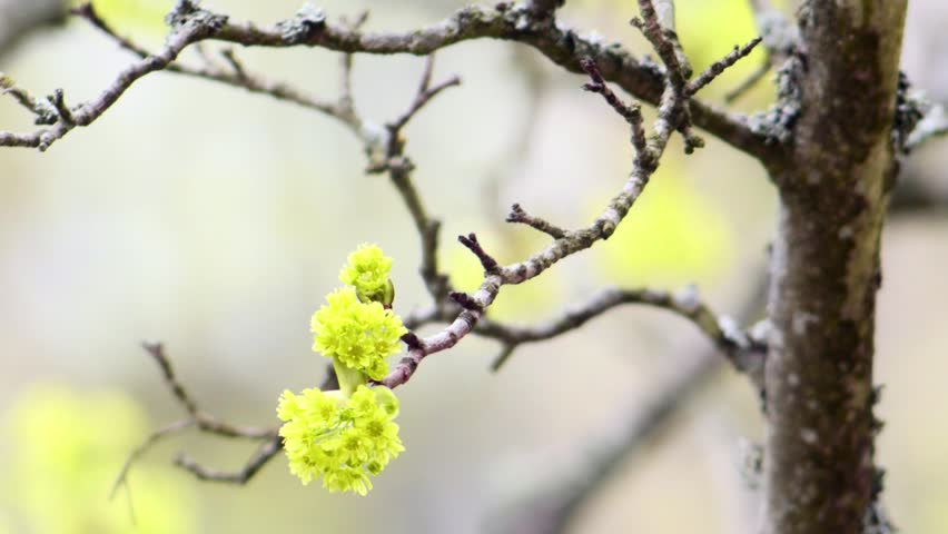 Maple (Acer platanoides) flowers in Spring. Windy day in Finland. - HD stock video clip