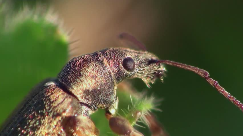 weevil beetle - HD stock footage clip