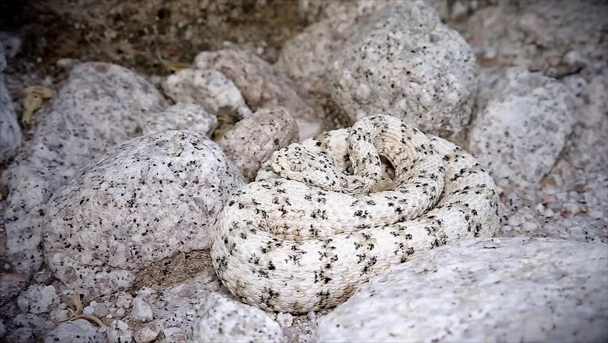 A rattlesnake flicks its tongue and retreats. The WHITE Southwestern Speckled Rattlesnake (Crotalus mitchelli pyrrus) exists only in a single mountain range. Amazingly camouflaged in the white granite
