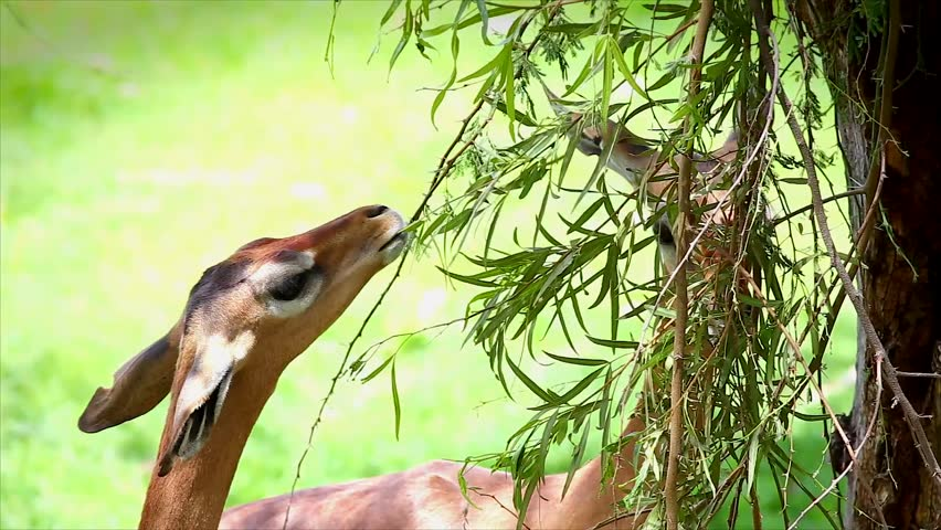 GERENUK  Definition and synonyms of gerenuk in the