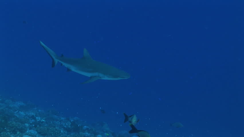 grey reef shark passing left to right - HD stock footage clip