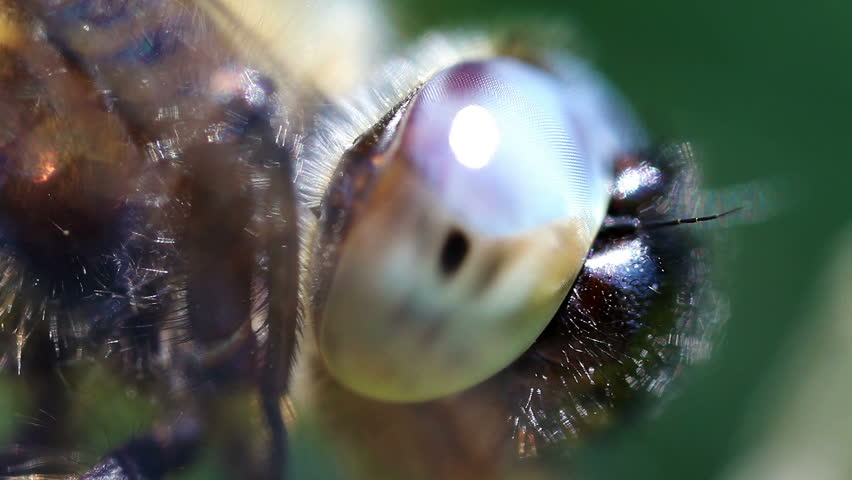 Multifaceted eye - dragonfly - HD stock footage clip